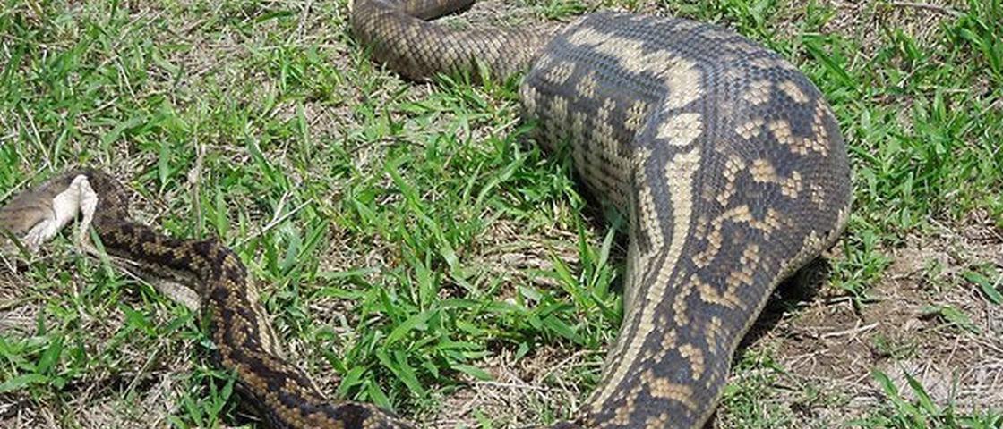 8 cobras que se deram muito mal por terem a boca maior do que o estômago