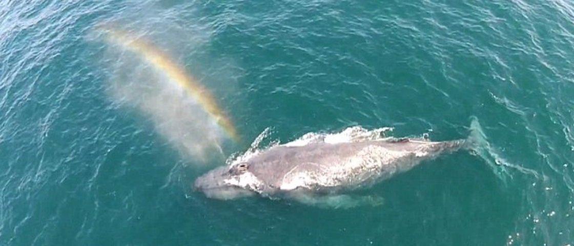 Que incrível! Drone flagra baleia jubarte expelindo um arco-íris
