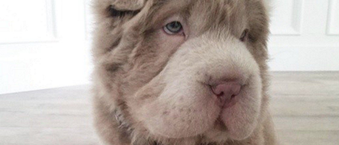 Conheça a nova sensação da internet: a cadelinha que parece urso de pelúcia