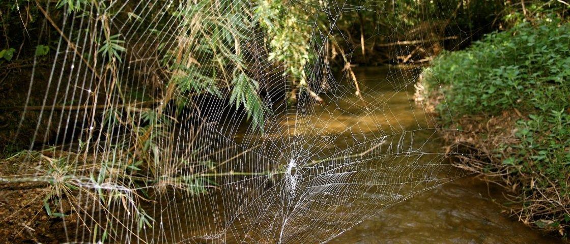 Você conhece a aranha que faz a maior e mais forte teia do mundo?