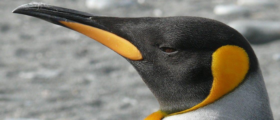 Sexo com focas? Mergulhos de 500 m? Veja 10 fatos curiosos sobre pinguins