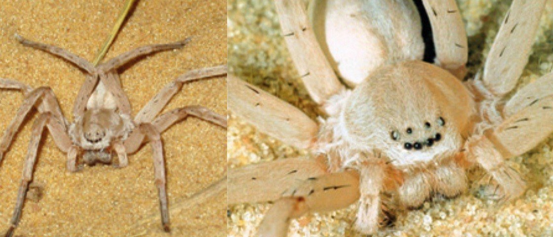 Pesquisadores descobrem novo gênero e 4 novas espécies de aranhas