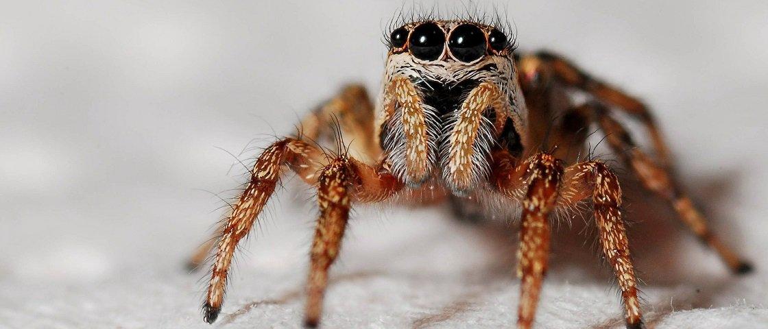 Estudo sugere que as aranhas desenvolveram os primeiros joelhos