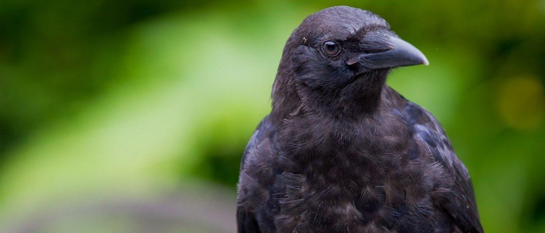 Por que os corvos realizam o 'velório' de seus semelhantes?