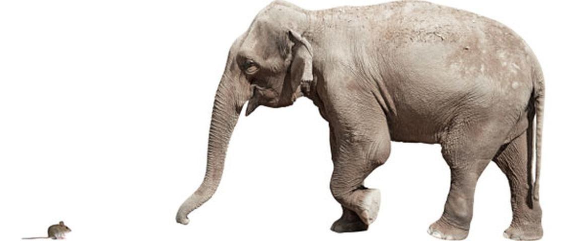 Você sabia que o espermatozoide de um rato é maior do que o de um elefante?