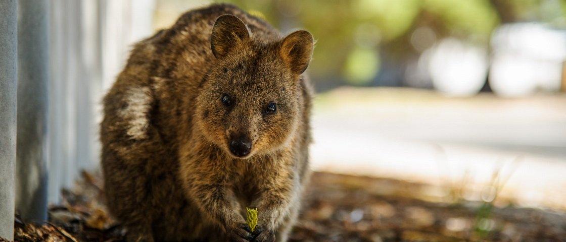 7 dos mais belos e fofos animais que você pode encontrar na Austrália