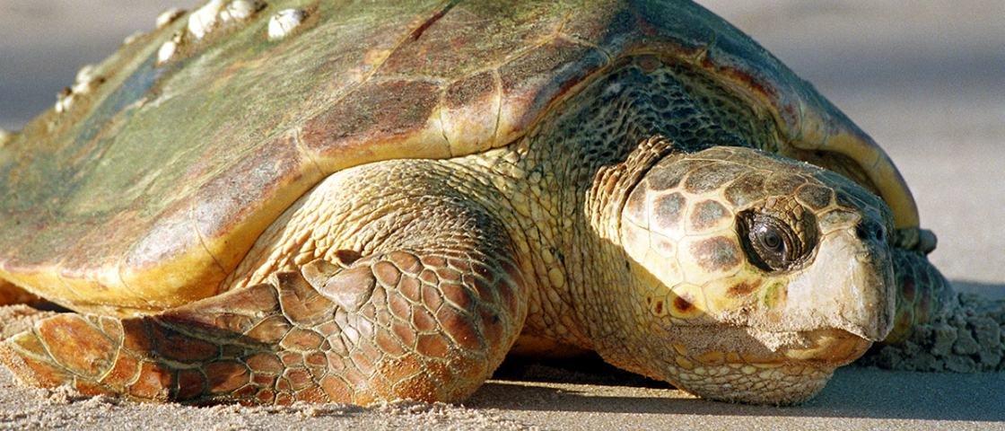 Nojento: isso é a garganta de uma tartaruga-cabeçuda [vídeo]