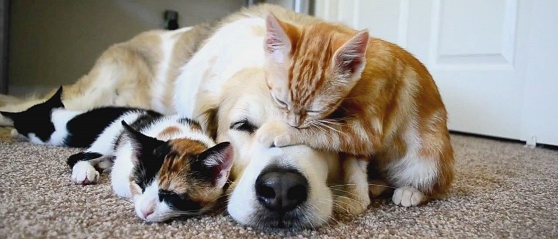 14 fotos provam que os cães são as melhores camas para os gatos