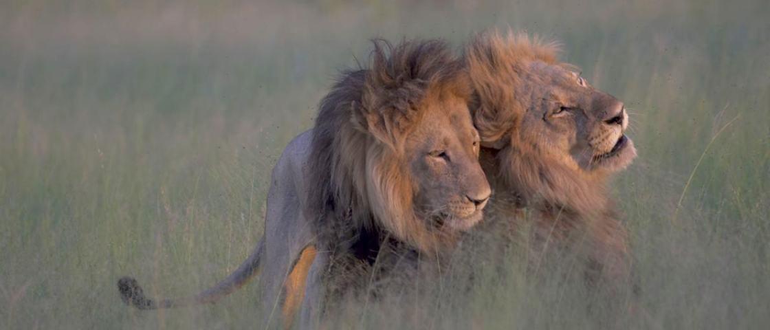 Sucesso na internet, leões 'gays' na realidade podem ser casal tradicional