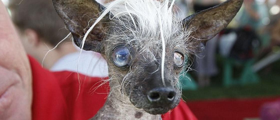 Chihuahua de 17 anos é eleita o cachorro mais feio do mundo em 2016