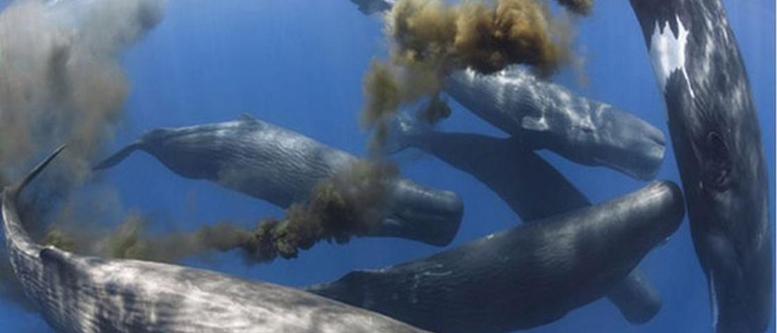 Quantos litros de xixi de baleia existem nos oceanos?