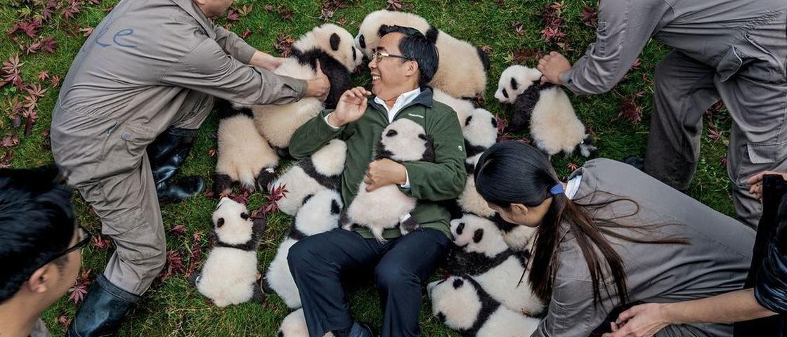 Pandas são tratados por profissionais fantasiados e com cheiro de xixi
