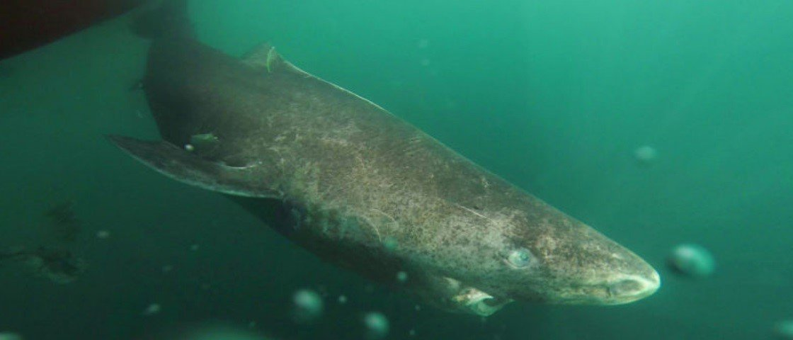 Incrível! Pesquisadores descobrem tubarão com 392 anos de idade
