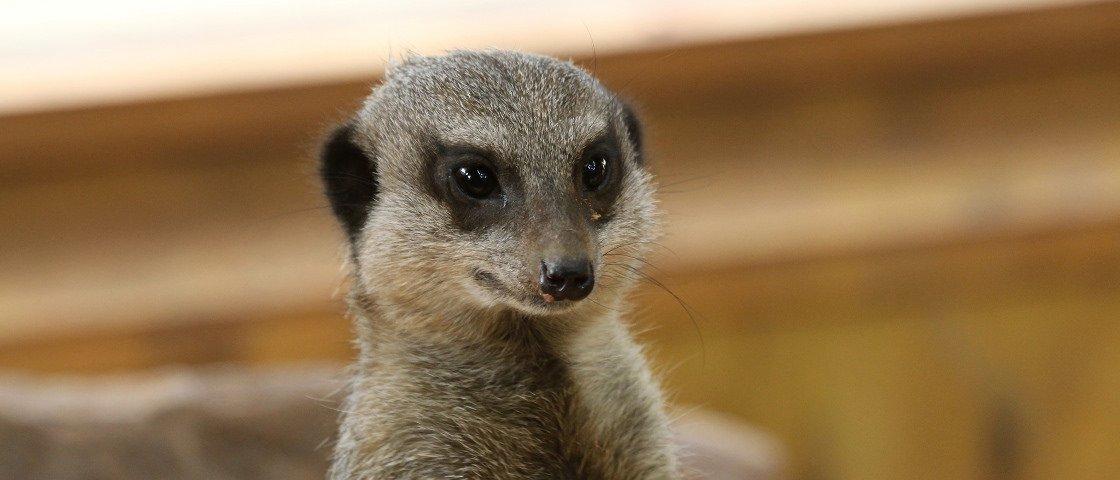 E o mamífero que mais assassina membros da mesma espécie é… o suricate