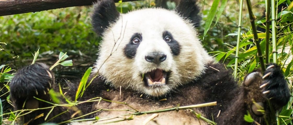 Vida sexual dos pandas inclui pênis minúsculo, balidos de cabra e porrada
