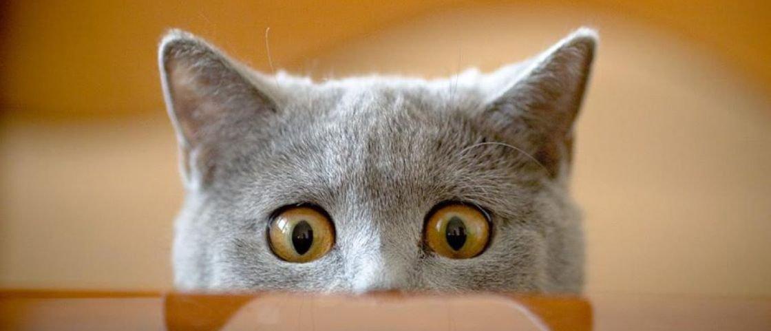 10 curiosidades fofíneas sobre o comportamento dos gatíneos