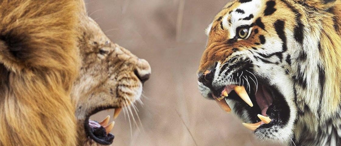 Leão x tigre: quem sairia vencedor de um desses embates?