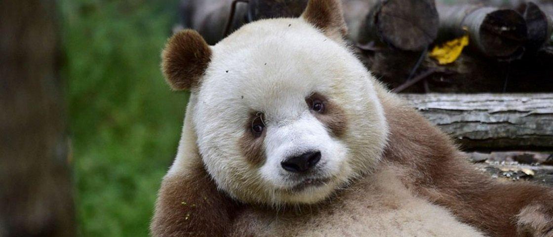 Conheça Qizai, o único urso panda marrom que existe no mundo