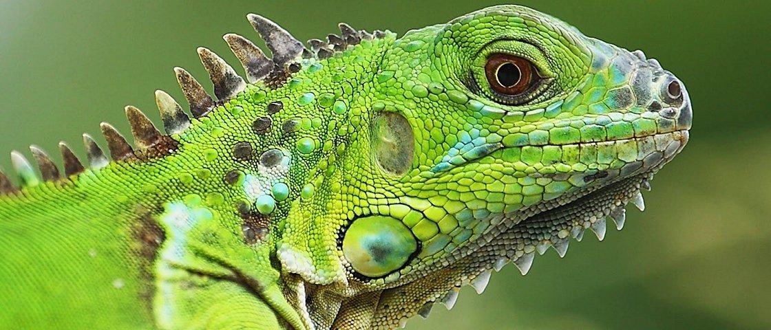 Este mexicano resgatou mais de 600 iguanas em 40 anos