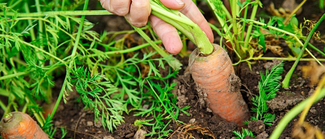 Após 3 anos, idoso encontra aliança perdida enquanto colhia cenouras