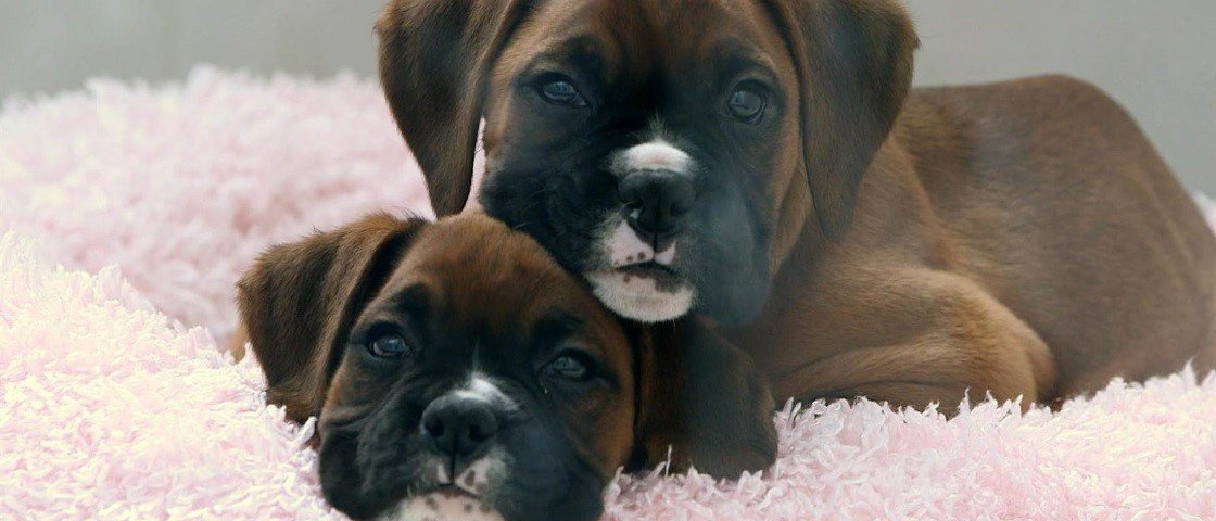 Melhor amigo para sempre: Argentina receberá seu primeiro cão clonado
