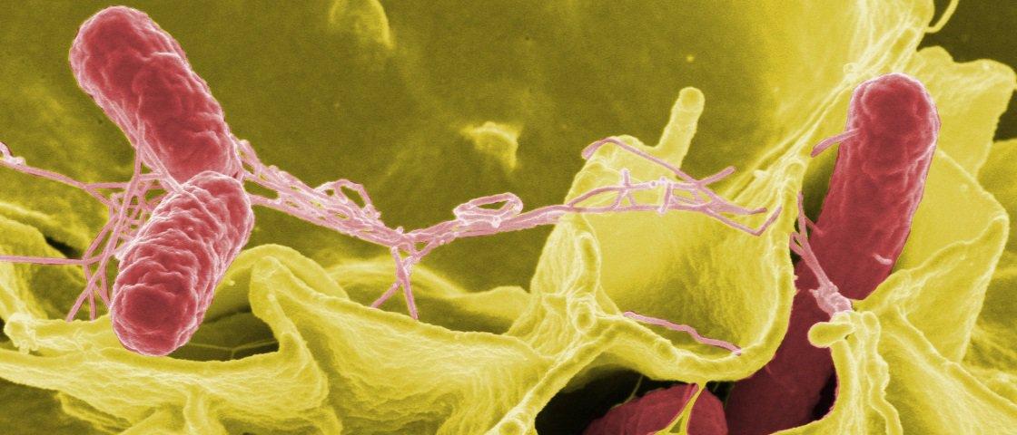Salmonelas fazem seus hospedeiros comerem mais