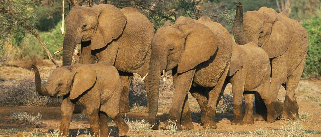 Por que, afinal, os elefantes são incapazes de pular?