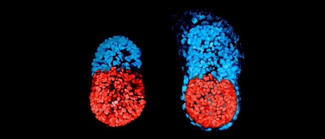 Embrião artificial é criado sem necessidade de óvulo ou espermatozoide