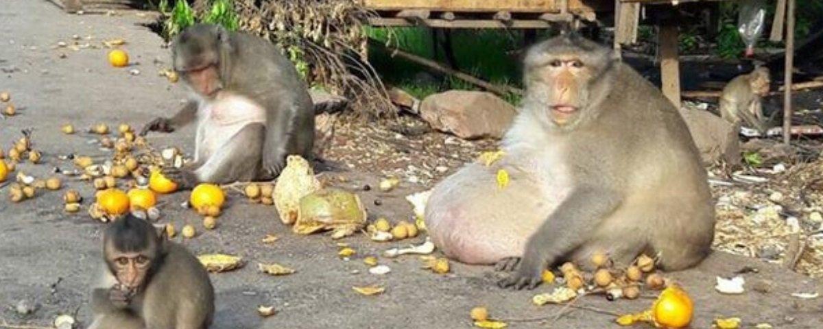 """Macaco obeso choca especialistas e é enviado para """"spa animal"""""""