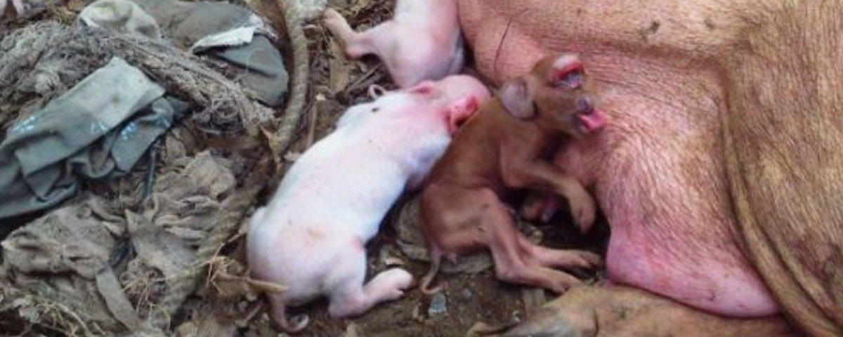 Macaco bizarro? Não! Este é um curioso porquinho mutante que nasceu em Cuba