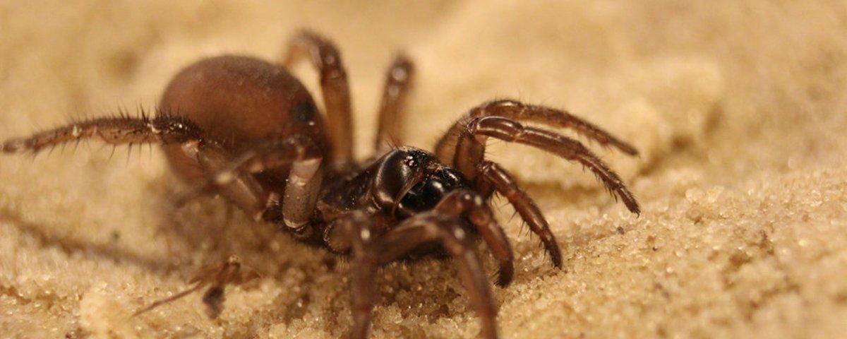 Aranha da Austrália pode ter viajado pelo oceano até outros continentes