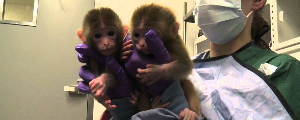Nascem os primeiros macacos clonados com técnica da ovelha Dolly