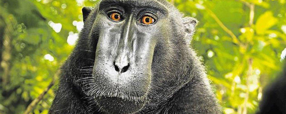 Tribunal norte-americano reacende polêmica da selfie do macaco Naruto