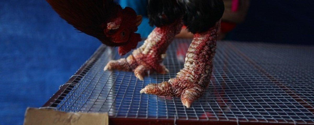 Conheça a galinha Dong Tao e seus pés gigantes