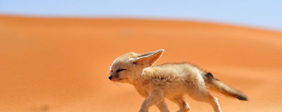 Conheça 8 animais que vivem no deserto do Saara