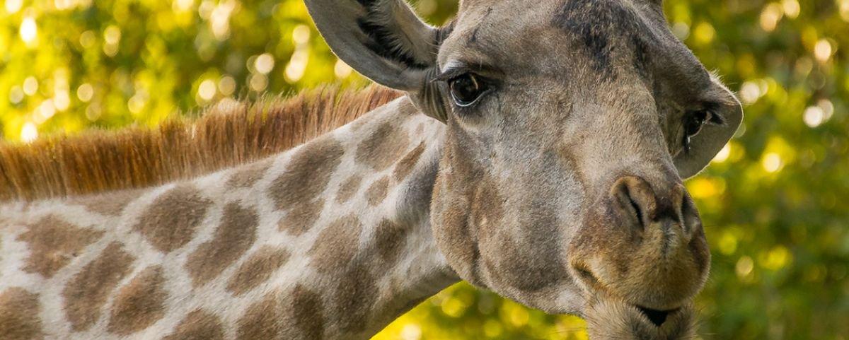 Girafa morre em acidente bizarro após animal não respeitar placa