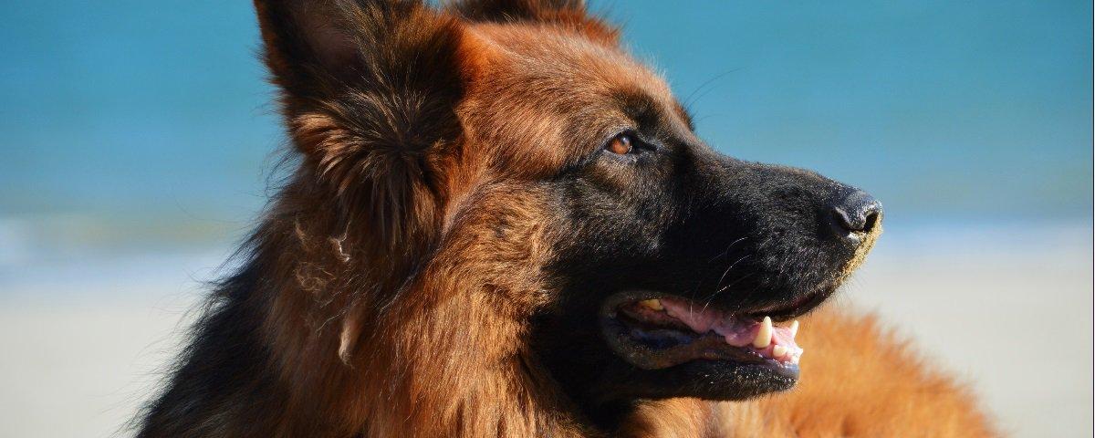 Qual raça de cachorro se sai melhor como cão de guarda rural?