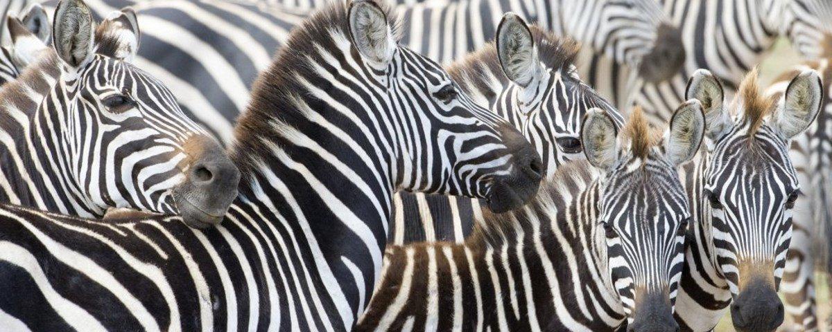 Por que será que as zebras têm listras?