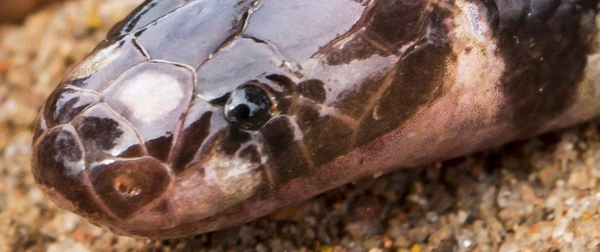 Adivinhe onde descobriram uma nova espécie de cobra venenosa!