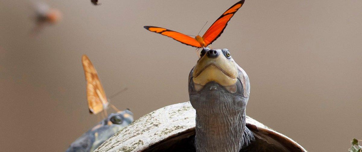Você sabe por que algumas borboletas bebem lágrimas de tartaruga?