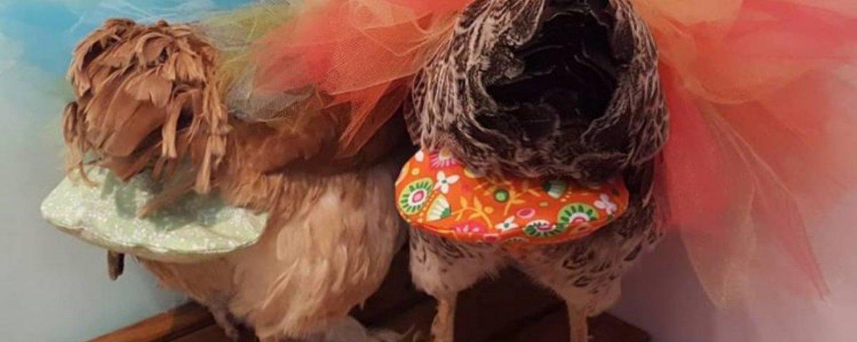 Conheça o mercado emergente de fraldas de luxo para galinhas