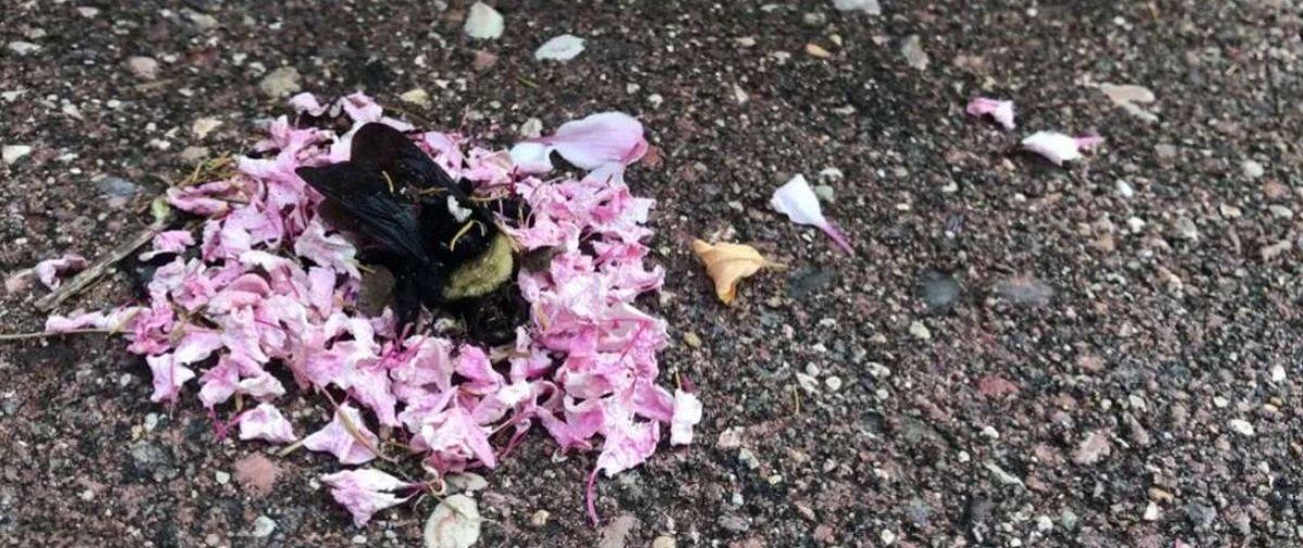 Tem gente achando que formigas organizaram o funeral de uma abelha morta