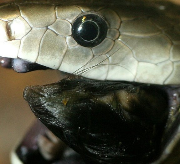 Conheça a mamba-negra, uma das serpentes mais mortais do planeta