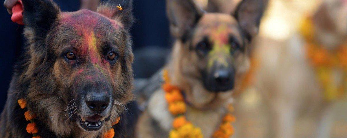 Gosta de cães? No Nepal, existe um festival dedicado a adorá-los