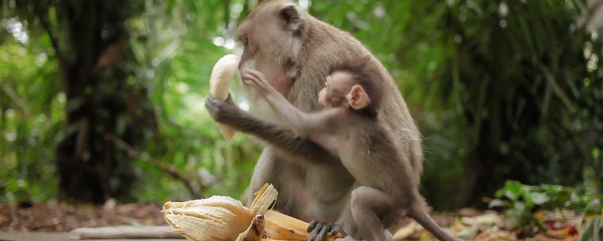 Zoológico inglês parou de servir bananas a macacos