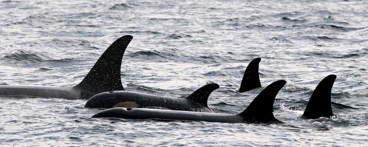 Tem Na Web - O que pode acontecer quando orcas decidem brincar com uma banhista?