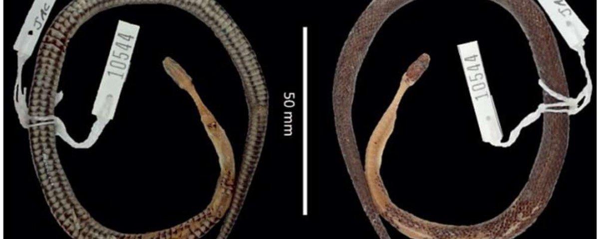 Cobra engolindo cobra: caso bizarro resulta em nova espécie do réptil