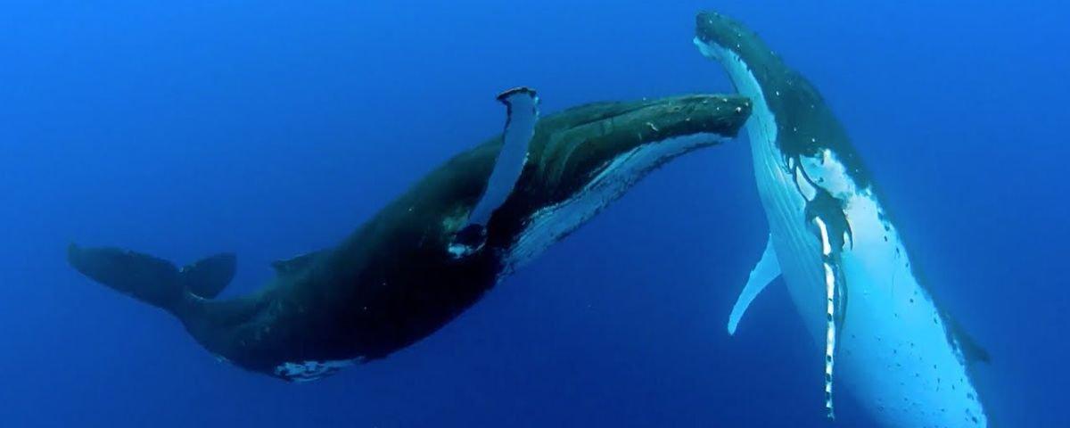 """Diva pop dos mares: baleia-jubarte costuma plagiar músicas de suas """"amigas"""""""
