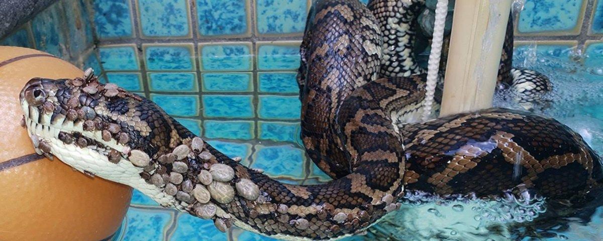 Você não vai acreditar na quantidade de carrapatos removida desta cobra!