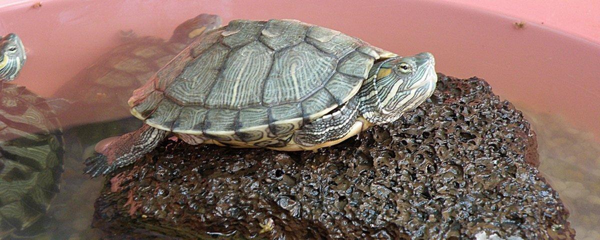 Como pequenas tartarugas se tornaram um grande problema biológico